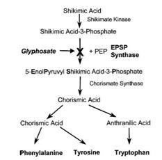 szlak kwasu szikimowego a glifosfat