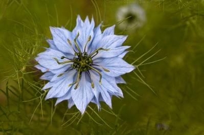 [Obrazek: czarnuszka-kwiat.jpg]